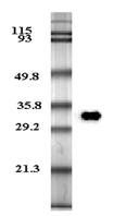 Western blot analysis of human plasma adiponectin using anti-Adiponectin (human), mAb (HADI 773) (Prod. No. AG-20A-0001) at 0.2µg/ml.