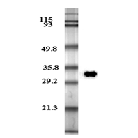 Western blot analysis of human plasma adiponectin using anti-Adiponectin (human), mAb (HADI 773) (Prod. No. AG-20A-0001) at 0.2µg/ml.