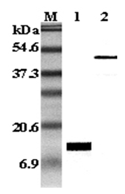 Western Blot analysis using anti-Leptin (human), mAb (HLEP 155) (Prod. No. AG-20A-0019) at 1:5000 dilution.<br />1: Recombinant human Leptin protein. <br />2: Human Leptin Fc-fusion protein.