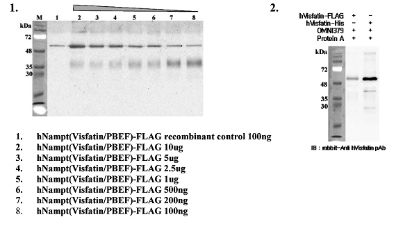 Immunoprecipitation of recombinant human Nampt (Visfatin/PBEF) proteins using anti-Nampt (Visfatin-PBEF), mAb (OMNI379) (Prod. No. AG-20A-0034). Recombinant human Nampt (Visfatin/PBEF) proteins at different concentrations were precipitated. The precipitated proteins were separated by SDS-PAGE, electroblotted and visualized by western blot with anti-human Nampt(Visfatin/PBEF) pAb.