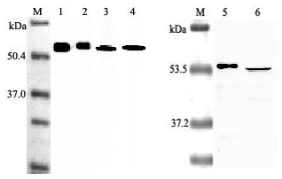 Western blot analysis using anti-Nampt (Visfatin-PBEF), mAb (OMNI379) (Prod. No. AG-20A-0034) at 1:2000 dilution.<br />1. Human Nampt (Visfatin/PBEF) (His-tagged).<br />2. Human Nampt (Visfatin/PBEF) (FLAG<sup>®</sup>-tagged).<br />3. Mouse Nampt (Visfatin/PBEF) (His-tagged).<br />4. Rat Nampt (Visfatin/PBEF) (His-tagged).<br />5. Human Nampt (Visfatin/PBEF) (His-tagged).<br />6. LPS-treated human peripheral blood leukocyte lysate.