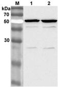 Western blot analysis of 3T3-L1 cell lysate using anti-Nampt (Visfatin/PBEF) mAb (OMNI379) (Prod. No. AG-20A-0034) at 1:2000 dilution.<br />1. IBMX. + DEX. - treated 3T3-L1 cell lysate.<br />2. IBMX. + DEX. + Insulin - treated 3T3-L1 cell lysate.