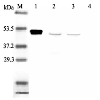 Western blot analysis using anti-IDO (human), mAb (ID 177) (Prod. No. AG-20A-0035) at 1:2'000 dilution.<br />1: Recombinant human IDO (His-tagged).<br />2: PHA-treated human peripheral blood lymphocyte lysate.<br />3: Con A-treated human peripheral blood lymphocyte lysate.<br />4: Human peripheral blood lymphocyte lysate.