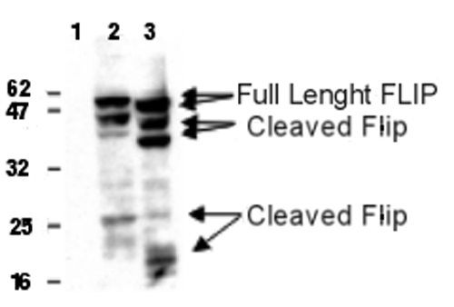 Detection of human and mouse FLIP in 293T cells transfected with a human (lane 2) or mouse FLIP<sub>L</sub> (lane 3) expression plasmid using anti-FLIP, mAb (Dave-2) (AG-20B-0005). Untransfected cells (lane 1). Top arrows indicate full length FLIP, lower arrows indicate cleaved FLIP products. <br /> <strong>Method:</strong> Cell extracts from cells (5x10<sup>4</sup>) transfected with human or mouse FLIP expression plasmid were resolved by SDS-PAGE under reducing conditions, transferred to nitrocellulose and incubated with anti-FLIP, mAb (Dave-2) at 1µg/ml. Proteins were visualized using a peroxidase-conjugated antibody to rat IgG and a chemiluminescence detection system.
