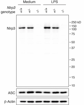 Mouse NLRP3 is detected in mouse macrophages using the monoclonal antibody to NLRP3 (Cryo-2) (Prod. No. AG-20B-0014). <b>Method:</b> Cell extracts from mouse macrophages (BMDMs) WT +/+ (lane 1), NLRP3+/- (lane 2) or NLRP3 -/- (lane 3), with or without treatment with LPS (50ng/ml) for 3h, were separated by SDS-PAGE under reducing conditions, transferred to nitrocellulose and incubated with the mAb to NLRP3 (Cryo-2) (1µg/ml). Proteins are visualized by a chemiluminescence detection system.  <i>Picture courtesy of Dr. Olaf Gross, Munich University, Germany.</i>