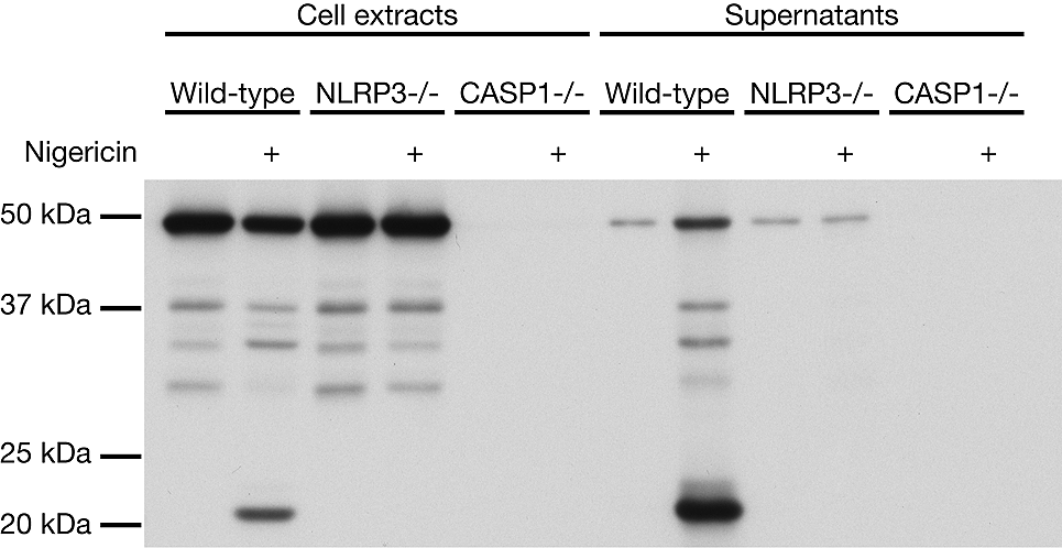Anti Caspase 1 P20 Mouse Mab Antibody Casper 1