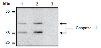 Caspase-11 is specifically detected in mouse extracts by anti-Caspase-4/11 (p20), mAb (Flamy-1) (AG-20B-0060). <b>Method:</b> Caspase-11 is analyzed by Western blot in mouse cell extracts of immortalized bone marrow-derived macrophages (iBMDM), which are either untreated (lane 1), treated with CRISPR/Cas9-luciferase (lane 2), or treated with CRIPSR/Cas9-mCasp11 (lane 3). Cell extracts are separated by  SDS-PAGE under reducing conditions, transferred to nitrocellulose and incubated with anti-Caspase-4/11 (p20), mAb (Flamy-1) (1µg/ml). After addition of an anti-mouse secondary antibody coupled to HRP, proteins are visualized using a chemiluminescence detection system.