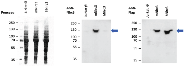 Overexpressed mouse NLRC3 is detected by immunoblotting using anti-NLRC3 (mouse), mAb (Eowyn-1) (Prod. No. AG-20B-0067-C100).<br /> <b>Method:</b> Cell lysate protein was loaded and SDS Page was run for 1h at 100V. Transfer for 1h at 80V. Block for 30min with 4% skimmed milk PBS Tween. Nitrocellulose membrane was incubated o/n at 4°C with anti-NLRC3 (mouse), mAb (Eowyn-1) (1/2000) in incubation buffer (0.4% skimmed milk PBS Tween) followed by anti-mouse HRP (1/10'000) for 1h at RT. Exposure 5 min. Anti-Flag (1/2000) was incubated o/n at 4°C followed by anti-mouse HRP (1/10'000) for 1h at RT. Exposure 5 min.<br /><b>Conclusion:</b> anti-NLRC3 (mouse), mAb (Eowyn-1) recognizes overexpressed mouse NLRC3 but it does not detect human NLRC3. -> mouse NLRC3: ≈ 120kDa; human NLRC3: ≈ 115kDa; Flag-tagged mouse NLRC3 and Flag-tagged human NLRC3 were overexpressed in Jurkat cells.