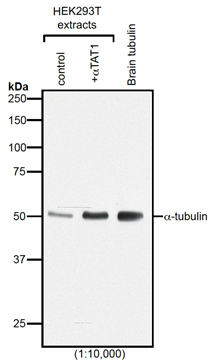 Western blot analysis of protein acetylation with anti-α-Tubulin (acetylated), mAb (TEU318) (Prod. No. AG-20B-0068).<br /><b>Method:</b> HEK-293T cells grown in standard culture conditions, transfected with plasmids expressing the tubulin acetyl transferase α-TAT1 (or MEC17; J.S. Akella, et al.; Nature 2010; T. Shida, et al.; PNAS 2010) and are lysed in Laemmli sample buffer. Brain tubulin was prepared following standard procedures (M. Castoldi & A.V. Popov; Protein Expr. Purif. 2003). Samples are run on a 10% SDS-PAGE and proteins are transferred to a nitrocellulose membrane and detected by standard immuno blot protocol using anti-α-Tubulin (acetylated), mAb (TEU318) (1:2'000) in TBS containing 0.1% Tween-20 for washing steps and 2.5% fat free milk for antibody incubation. In normal HEK cells, acetylated α-tubulin is detected, although faintly. Expression of α-TAT1 (or MEC17) acetyltransferase leads to enhanced acetylation of tubulin. Brain tubulin is highly acetylated and therefore is strongly detected.<br /><i>Picture courtesy of Dr. Sudarshan Gadadhar & Dr. Carsten Janke, Curie Institute, Paris</i>