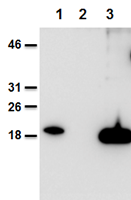 Mouse and human IL-38 is detected using anti-IL-38, mAb (Nhat-1) (AG-20B-0070).<br /><b>Method:</b> Recombinant mouse IL-38 (AG-40B-0101) (lane 1), cell extracts from HEK 293 cells mock-transfected (lane 2) or transfected with human IL-38 (lane 3) were separated by SDS-PAGE under reducing conditions, transferred to nitrocellulose and incubated with anti-IL-38, mAb (Nhat-1) (1µg/ml). Proteins are visualized by a chemiluminescence detection system.