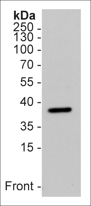 Western Blot using anti-Survival Motor Neuron Protein (human), mAb (7B10) (Prod. No. AG-20T-0003) on 15μg of human platelet lysate as a positive control (15μg). ECL detection.