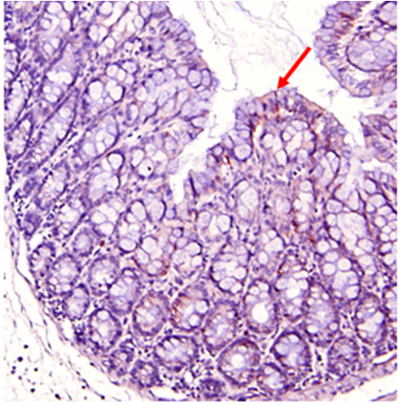 Immunohistochemical staining of mouse gut using anti-IDO (mouse), pAb (Prod. No. AG-25A-0032). Colorization by ABS Reagent (Vectastain) and counterstaining with hematoxylin.