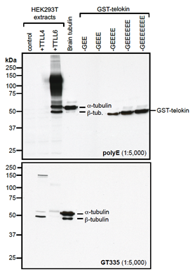 Western blot analysis of protein polyglutamylation by anti-Polyglutamate chain (polyE), pAb (IN105) (Prod. No. AG-25B-0030).<br /><b>Method:</b> HEK-293T cells are grown in standard culture conditions, transfected with plasmids expressing the tubulin glutamylases TTLL4 and TTLL6 (J. van Dijk, et al.; Mol. Cell 2007) and are lysed in SDS sample buffer and run on a 10% SDS-PAGE. Brain tubulin was prepared following standard procedures (M. Castoldi & A.V. Popov; Protein Expr. Purif. 2003). Different C-terminally modified variants of GST-telokin were produced in bacteria as described before (K. Rogowski, et al.; Cell 2010). The proteins are transferred to a nitrocellulose membrane and detected by standard immunoblot protocol using the anti-polyE, pAb (IN105) (1:2'000) in TBS containing 0.1% Tween-20 for washing steps and 2.5% fat free milk for antibody incubation. The same samples were probed with the anti-Polyglutamylation Modification, mAb (GT335) (Prod. No. AG-20B-0020) for comparison. In the normal HEK-293T cell extracts, no tubulin detection is observed, even on high exposure. Expression of TTLL4 glutamylase does not lead to detection with anti-polyE, pAb (IN105) while glutamylation is observed with GT335. This indicates that TTLL4 generates short glutamate chains on tubulin. Expression of TTLL6 generates long glutamate chains (J. van Dijk, et al.; Mol. Cell 2007), which are detected by anti-polyE, pAb (IN105). Brain tubulin is a heterogenous mixture of different glutamylation states of tubulin (B. Edde, et al.; Science 1990) and therefore strongly detected by anti-polyE, pAb (IN105) and mAb GT335. Anti-polyE, pAb (IN105) also detects gene-encoded linear C-terminal glutamate chains. To illustrate the specificity of anti-polyE, pAb (IN105), recombinant GST-telokin proteins are included in the western blot analysis. Anti-polyE, pAb (IN105) specifically detects glutamate-chains of four and more glutamates. In contrast, GT335 cannot detect such chains (K. Rogowski, et al.; Cell 2010).<br /><i>Picture courtesy of Dr. Sudarshan Gadadhar & Dr. Carsten Janke, Curie Institute, Paris</i>