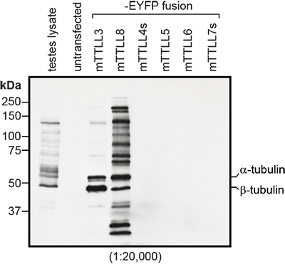 Immunoblot analysis of protein glycylation using anti-Tubulin (glycylated), pAb (Gly-pep1) (Prod. No. AG-25B-0034). <b>Method:</b> HEK-293T cells are grown in standard culture conditions, transfected with plasmids expressing the glycylases TTLL3 and TTLL8 and are run on a 10% SDS-PAGE. Lysate of mouse testes was used as a positive control for glycylated tubulin. The proteins are transferred to a nitrocellulose membrane and detected by standard immunoblot protocol using anti-Tubulin (glycylated), pAb (Gly-pep1) (1:20,000) in TBS containing 0.1% Tween-20 for washing steps and 2.5% fat free milk for antibody incubation. In the untransfected HEK-293T cell extracts, no tubulin is detected, even on high exposure. After expression of TTLL3 glycylase, predominantly β-tubulin is detected with Gly-pep1, while expression of TTLL8 generates Gly-pep1-positive α-tubulin and other, yet unidentified substrates. Lysate of testes also contains a heterogeneous mixture of different glycylated proteins, inlcuding α and β-tubulin. <i>Picture courtesy of Sudarshan Gadadhar and Carsten Janke, Institut Curie, Paris.</i>